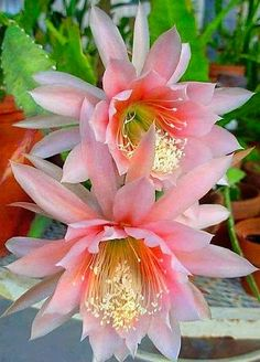 ✿⊱╮Natural elements: Orchid cactus 'Argus.'