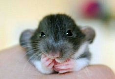 Ohhhh, The Effective Pictures We Offer You About Rodents A quality picture can tell you many things. You can find the most beautiful pictures that can be presented Funny Rats, Cute Rats, Animals And Pets, Baby Animals, Dumbo Rat, Super Cute Animals, Cute Mouse, Tier Fotos, Cute Animal Pictures