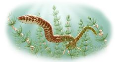 Earliest snake fossils provide evidence snakes evolved their flexible skulls before their long, limbless bodies.