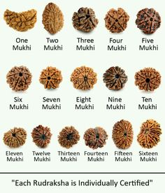 Types of rudraksha.