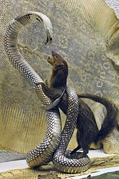 Mongoose vs snakes fights are interesting to watch. Snakes like King cobra, Black mamba are best fighters for mongoose. Read this article to know mongoose vs snake fight comparison- who will win the fight. Scary Animals, Animals And Pets, Funny Animals, Cute Animals, Artic Animals, Les Reptiles, Reptiles And Amphibians, Animals Amazing, Animals Beautiful