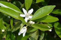 orange blossom in Spring! Spring Fruits, Fruits Photos, Orange Blossom, Plant Leaves, Plants, Orange Flowers, Plant, Planting, Planets