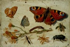 Three Butterflies, a Beetle and other Insects, with a Cutting of Ragwort, 1650's by Jan van Kessel (Flemish 1626-1679)