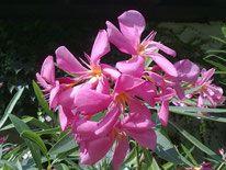 OLEANDER HAUS  Nerium Oleander Maresciallo Graziani