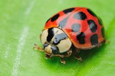 Did you know that the harlequin ladybird (Harmonia axyridis) was introduced in North America as a natural predator of soybean aphids but now has spiraled o Bugs And Insects, Biochemistry, Weird And Wonderful, Predator, North America, Turtle, Wildlife, Spiders, Animals