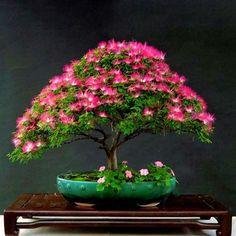 Bonsai Samen Semi 10 Semillas Arbol de la lluvia  SAMANEA SAMAN  Jardín Flores