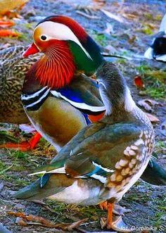 Pair of Mandarin ducks?