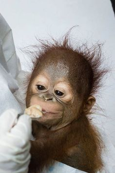 """""""A villager in West Borneo says he heard crying in the rainforest. He followed the sounds, and claims he found a tiny orangutan, all alone, no mother in sight, according to International Animal Rescue (IAR). The man took the little orangutan into his home, where he tried to care for him for four weeks by feeding him condensed milk."""" https://www.thedodo.com/baby-orangutan-rescue-1302618213.html?utm_content=buffer657db&utm_medium=social&utm_source=pinterest.com&utm_campaign=buffer"""