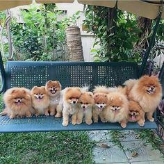 Where can you buy a Pomeranian? For everything you need to know about Pomeranians check our website ➡️ www.pomeraniansclub.com  Wanna be featured  Picture from @suksomboon_  Follow@pom.club.instafor more  Comment below if You like this  ________________  credit  @pomeraniansclub  Tag your friends  #pom #pomeranian #pompom #pomadelokal #pomstagram #pomadeindonesia #pomadejakarta #pomadesurabaya #pomadebali #pomade #pomeraniansofinstagram #pomeranianlove #pomeranianpage #pom...