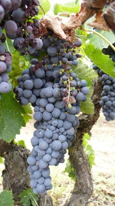 The local red grape for Macedonia is Xinemavro, here being grown on pre-phylloxera vines that are nearly 100 years old.