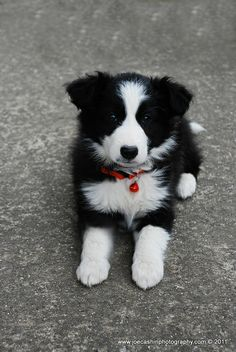Cute little BC. I used to have a wonderful border collie named Bill. Cute Little Puppies, Cute Puppies, Cute Dogs, Fluffy Animals, Baby Animals, Cute Animals, Photo Animaliere, Border Collie Puppies, Beautiful Dogs