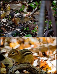 chipmunks :)