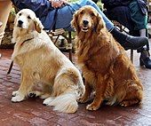 Golden Retriever - Wikipedia