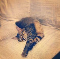 mercimek Cat | Pawshake Brugge