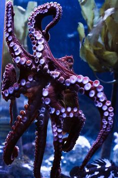 Giant Pacific Octopus, Aquarium of the Bay, San Francisco, California - Trend Tattoo Ocean 2019 Underwater Creatures, Underwater Life, Ocean Creatures, Underwater Pictures, Beautiful Sea Creatures, Animals Beautiful, Giant Pacific Octopus, Life Under The Sea, Octopus Art