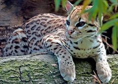Ocelot (Leopardus pardalis) from Mexico south to Central and South America Pretty Cats, Beautiful Cats, Animals Beautiful, Pretty Kitty, I Love Cats, Big Cats, Cool Cats, Ocelot, Jaguar