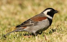 Cape sparrow or mossie (Passer melanurus) is a bird of the sparrow family Passeridae found in southern Africa. Types Of Sparrows, National Botanical Gardens, Body Reference Drawing, Bird Drawings, Bird Species, Bird Watching, Old World, Pet Birds, Westerns