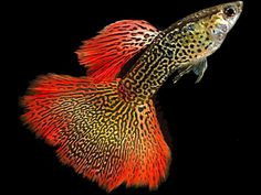 Cobra Guppy Fish Photo