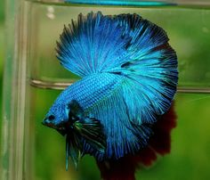 Flickr Beta Fish, Siamese Fighting Fish, Halfmoon Betta, Fish Tank, Animals And Pets, Birds, Pictures, Ecology, Pond