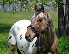 Doncha Wanna Moon Me. 9 year old reg Appaloosa stallion. Standing at stud for 2013 amazing markings! Animals Of The World, Animals And Pets, Cute Animals, Horses And Dogs, Wild Horses, Beautiful Creatures, Animals Beautiful, Most Beautiful Horses, Pretty Horses