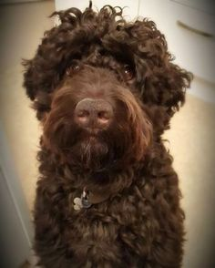 Beards are so popular these days and we think Claude, a Barbet (French Water Dog), wears it well. Barbet derives from barbe which is french for beard, but aside from that this rare breed makes a lovely, happy family pet which is what Claude is. And did we mention he is a fan?