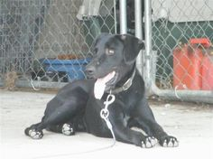 Chained Black Lab in Pennsylvania will be killed unless rescue is found http://www.examiner.com/article/chained-black-lab-pennsylvania-will-be-killed-unless-rescue-is-found