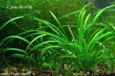 Sagittaria subulata    © Johan Plants, Plant, Planets