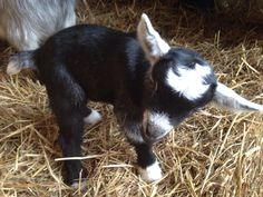 Only surviving baby goat triplet fr Harriet and he is handful