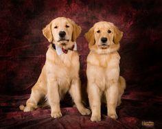 #Golden #Retrievers posing