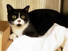 XIOMARA - A1103096 - - Manhattan  ***TO BE DESTROYED 02/11/17***TERRIFIC TUX FOUND AT TARGET…JUST ONE YEAR OLD & HEALTHY -  Click for info & Current Status: http://nyccats.urgentpodr.org/xiomara-a1103096/