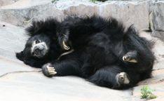 Sloth Bear, Black Bear, Habitats, Baby Animals, Black And Brown, Panda, Bears, Cute, Inspirational