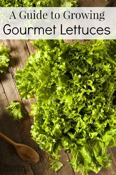 A Guide to Growing Gourmet Lettuces: How to grow popular types of gourmet lettuces from seeds, how to fertilize lettuce plants, and when to harvest lettuce.