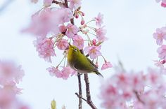 The Coming Of Spring -Japanese white-eye on cherry tree-