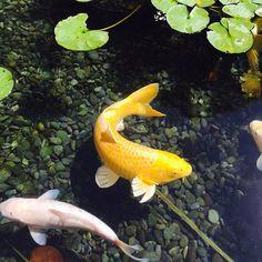 «Koi Pond. The beauty of colors. #koipond #lilypond #Waikiki #hawaii»