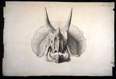 triceratops skull drawing - Google Search