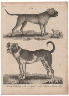 1800 Dog Print Old English Mastiff & British Bulldog #Realism