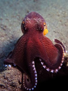 Amphioctopus marginatus, also known as the coconut octopus and veined octopus by Nigel Thomas