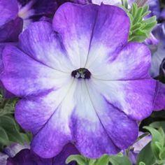 2014 American Garden Award Second Place Winner Petunia Sanguna® Radiant Blue