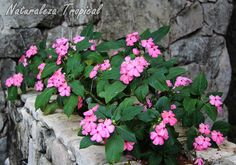 Jardinera de piedras y concreto con planta Madama florecida