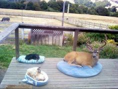 The owner said that the Buck used to come over so much that they got it its own bed.