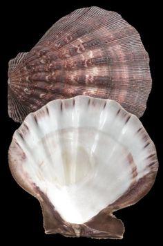 Deltona Seashells & Gifts - LIONS PAW (NATURAL) SHELL (EA)