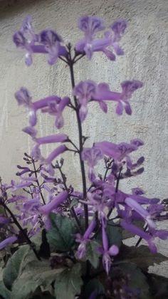 Pequeñas flores moradas... De mi jardin