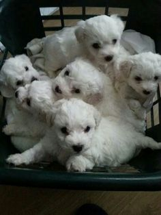Nothing is as adorable as a litter of bichon puppies,  hands down