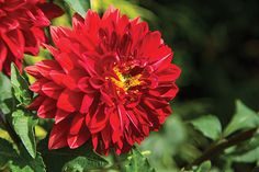 Bursts of color from fiery-red dahlia blooms, smooth, glossy magnolia leaves, fragrant ginger blossoms, and the sounds of bees and hummingbirds collecting pollen and nectar.
