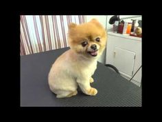 What you should know before you shave a double coated dog. Sometimes the coat doesn't grow back.