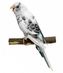 unusual budgie colours - Google Search