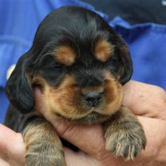 English Cocker Spaniel Pup ~ Classic Look Cute Puppies, Cute Dogs, Dogs And Puppies, Doggies, Clumber Spaniel, Cocker Spaniel Puppies, Animals And Pets, Cute Animals, Bambi