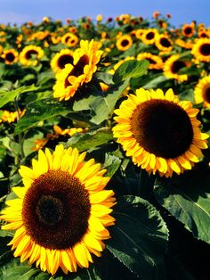 Sunflowers are such happy flowers :)