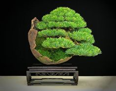 Bonsai styles are different ways of training your bonsai to grow the way you want it to. Get acquainted with these styles which are the basis of bonsai art. Ficus Bonsai, Bonsai Plante, Bonsai Garden, Bonsai Trees, Bougainvillea Bonsai, Mini Bonsai, Sogetsu Ikebana, Dwarf Trees, Plantas Bonsai