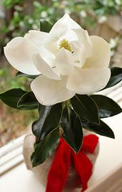 Valentine's Day Southern Magnolia Gift Tree✿ MAGNOLIAS ✿✫*¨`*✶♪.¸¸.✻ღღ✻